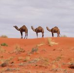 We saw camel, kangaroo and three young dingos playing on the track ahead. It was a stunning drive.
